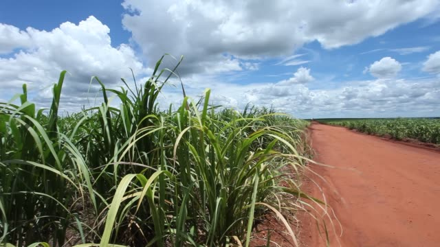 dirt road in a sugarcane plantation - sugar cane stock videos & royalty-free footage