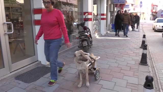 a disabled street dog in turkey's aegean region now has a new home thanks to a generous owner who took him in pamuk a kangalmixed puppy was only two... - bladder stock videos and b-roll footage
