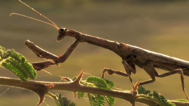 stockvideo's en b-roll-footage met disappearing mantis - voelspriet