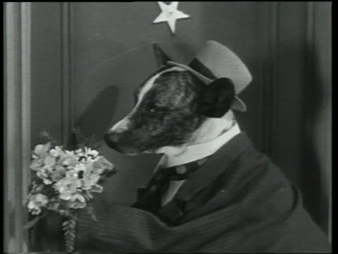 B/W 1930 disappointed dog in suit + hat holding bouquet of flowers up to nose / Dogway Melody