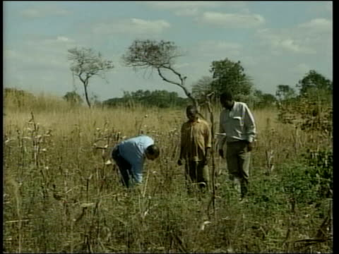 southern africa famine appeal; lib malawi: lilongwe: ext lms itn reporter tim ewart along in maize field with two villagers cms ruined maize held by... - malawi stock videos & royalty-free footage