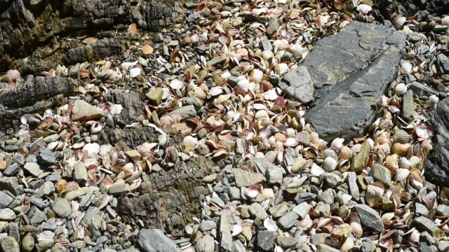 discarded scallop shells on the beach. - david johnson stock videos & royalty-free footage
