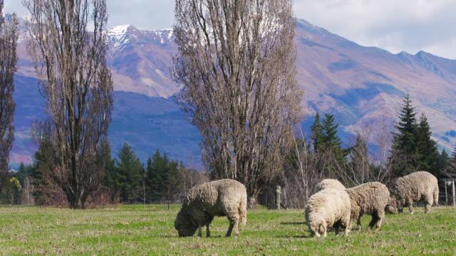 ニュージーランドを発見 - ヒツジ点の映像素材/bロール