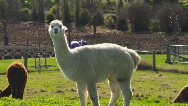 vídeos de stock, filmes e b-roll de descobrindo a nova zelândia - lama