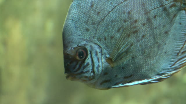 vidéos et rushes de cu r/f discus fish (symphysodon aequifasciatus) swimming underwater in georgia aquarium / atlanta, georgia, usa - animaux en captivité