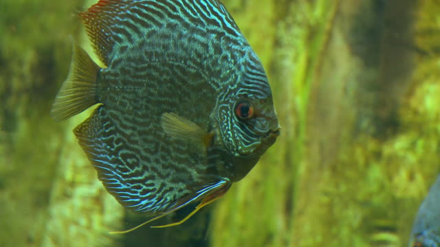 vidéos et rushes de ms discus fish (symphysodon aequifasciatus) swimming underwater in georgia aquarium / atlanta, georgia, usa - animaux en captivité