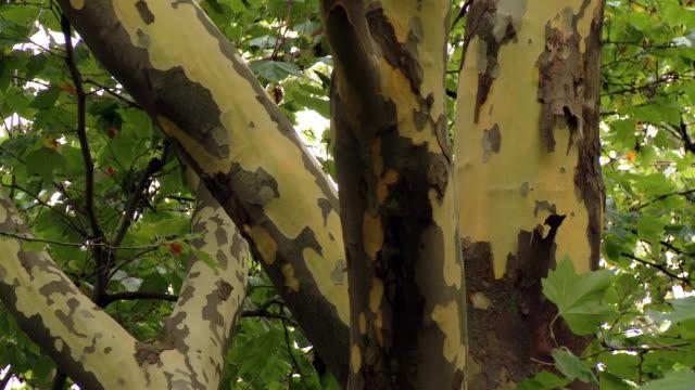 vídeos de stock e filmes b-roll de diseased trees losing their bark - tronco