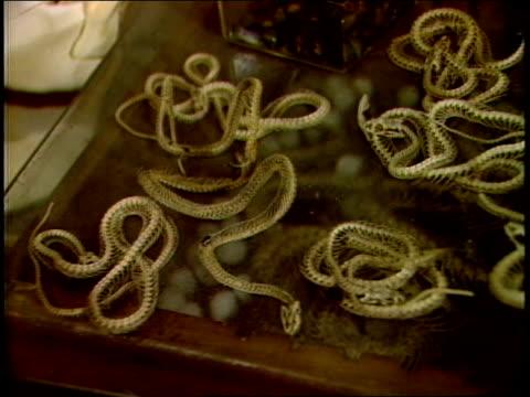 display of small snake skeletons - tierisches skelett stock-videos und b-roll-filmmaterial