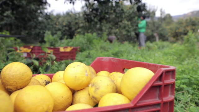 stockvideo's en b-roll-footage met distant workers harvesting bergamot fruit at organic farm - boomgaard