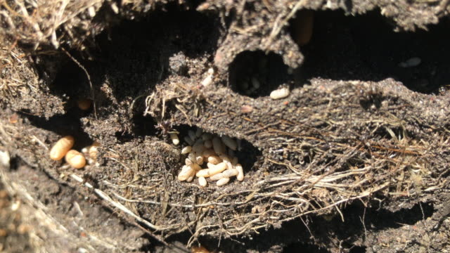 disturbed ants nest in the garden - ant stock videos & royalty-free footage