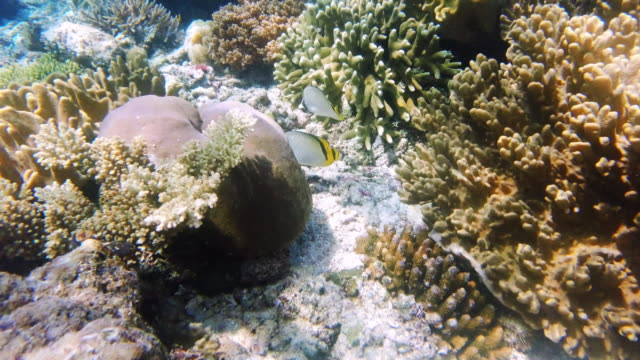 dive to incredible depths and you'll find incredible creatures - butterflyfish stock videos & royalty-free footage