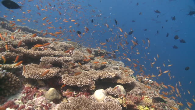Diver and school of Scalefin Anthias (Pseudanthias squamipinnis) and other reef fishes over Table Corals (Acropora sp.), Baa Atoll, The Maldives