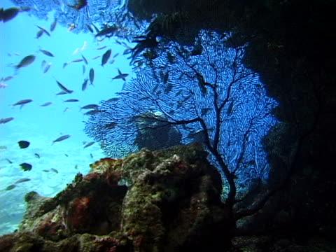 diver and sea fans - tierisches exoskelett stock-videos und b-roll-filmmaterial