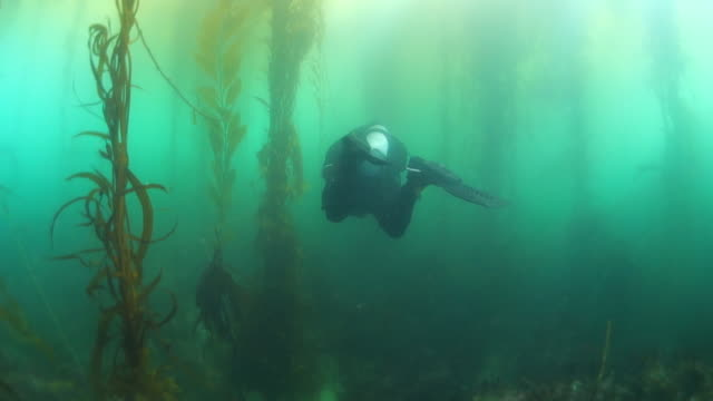 A Diver and Tall Stalks of Kelp Forest in Monterey, CA