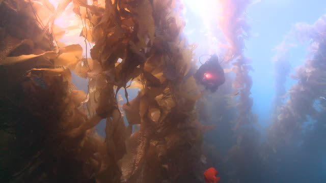 Diver appears through kelp fronds with torch