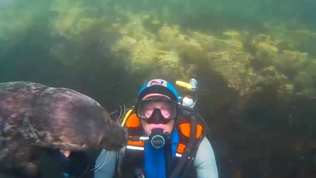diver ben burville has a unique relationship with the playful grey seals around the farne islands. the video shows a young male seal demanding that... - undersea stock videos & royalty-free footage