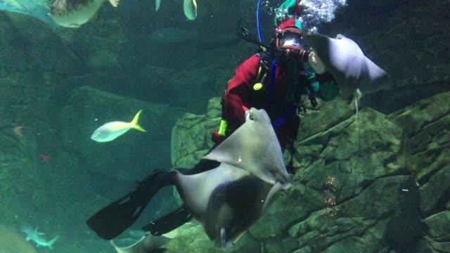 vidéos et rushes de diver dressed as santa clause's elf feeds stingrays at the ripley's aquarium in toronto, ontario, canada, on december 21, 2019. - organisme aquatique