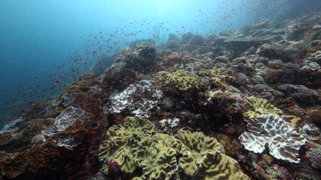 stockvideo's en b-roll-footage met a diver drifts along a beautiful hard coral reef, flores indonesia - flores indonesië