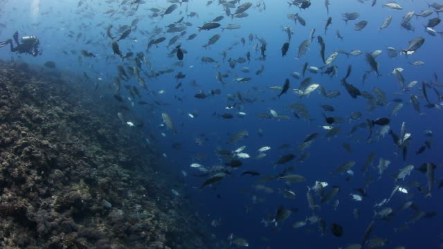 A diver drifts along the coral reefs at Blue Corner, surrounded by large schools of fish