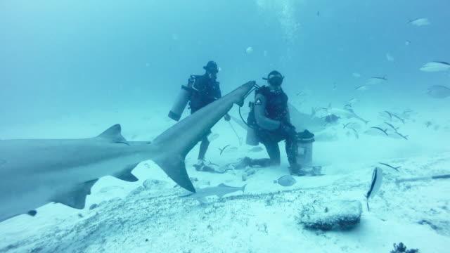 ws diver feeding bull shark (carcharhinus leucas) - aqualung diving equipment stock videos & royalty-free footage