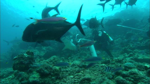 diver feeds grey reef shark, carcharhinus amblyrhynchos, s, fiji, south pacific  - grey reef shark stock videos & royalty-free footage