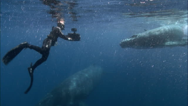 Diver filming humpback whale (Megaptera novaeangliae) mother and calf at water's surface / Tonga, South Pacific