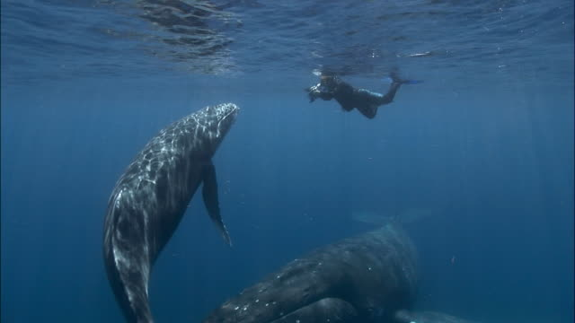 Diver filming humpback whale (Megaptera novaeangliae) mother and calf / Tonga, South Pacific