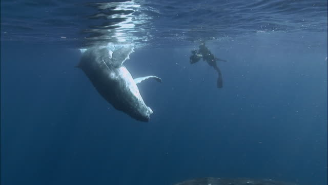 diver filming humpback whale (megaptera novaeangliae) mother and calf / whale swimming into camera / tonga, south pacific - buckelwal stock-videos und b-roll-filmmaterial