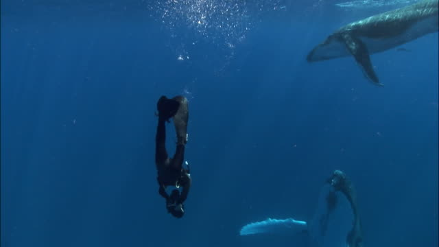 Diver filming humpback whale (Megaptera novaeangliae) mother as calf swims overhead / Tonga, South Pacific