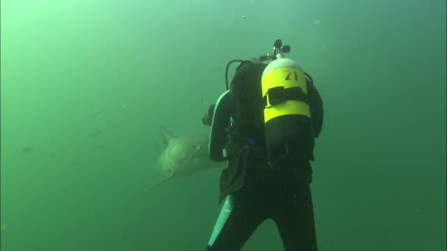 Diver filming White shark, South Africa, Gansbaai