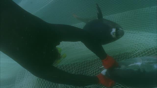 vídeos de stock, filmes e b-roll de slo mo ms cu td diver grabbing yellowfin tuna (thunnus albacares) from net underwater / moorea, tahiti, french polynesia - grupo médio de animais