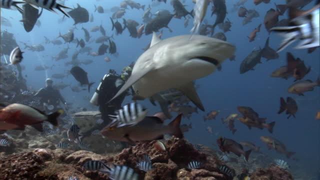 diver hand feeds bull shark (carcharhinus leucas), fiji - fiji stock videos & royalty-free footage