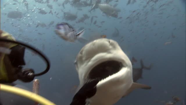 diver hand feeds bull shark (carcharhinus leucas), fiji - feeding stock videos & royalty-free footage