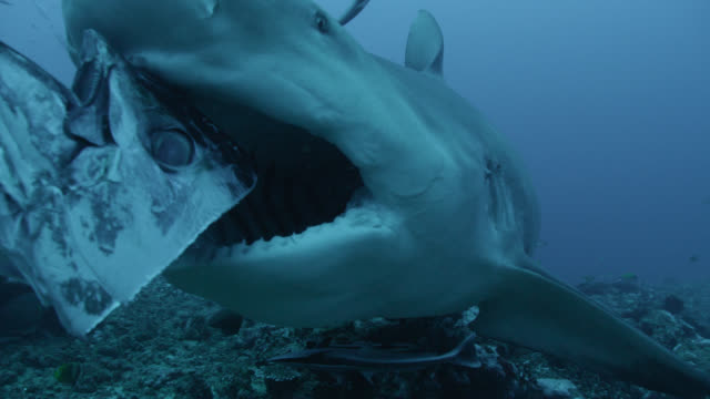 SCUBA diver hand feeds bull sharks (Carcharhinus leucas) on reef, Fiji