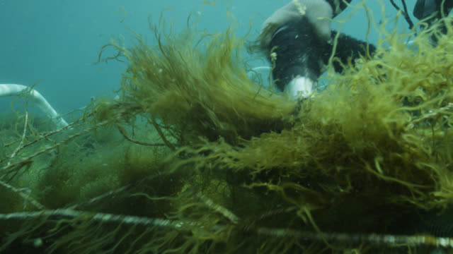 vidéos et rushes de diver harvesting seaweed from ranks of netting using suction device to water's surface. japan. - varech
