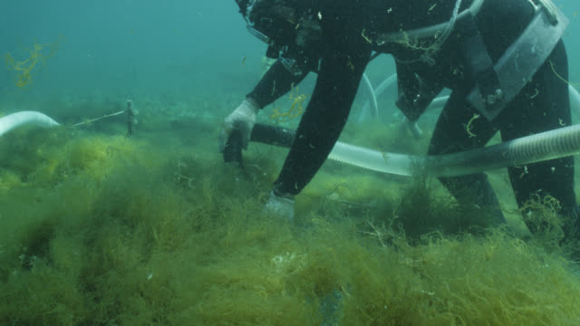 Diver harvesting seaweed from ranks of netting using suction device to water's surface. Japan.