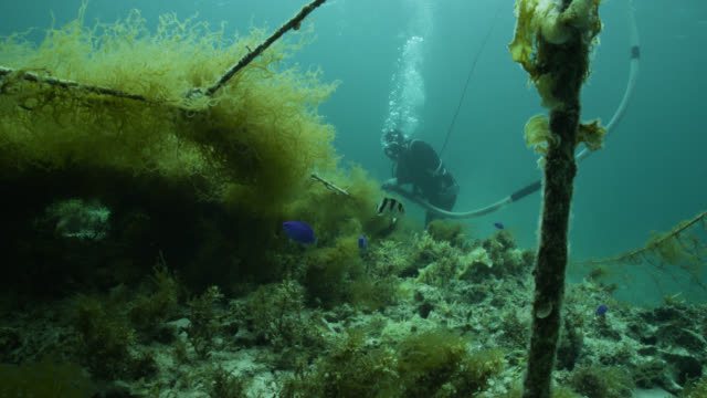 diver harvesting seaweed from ranks of netting using suction device to water's surface. japan. - 海草点の映像素材/bロール