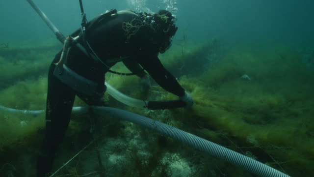 diver harvests seaweed from ranks of netting using suction device. japan. - seetang stock-videos und b-roll-filmmaterial