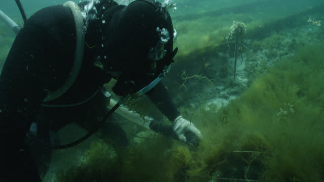 diver harvests seaweed from ranks of netting using suction device. japan. - seaweed stock videos & royalty-free footage