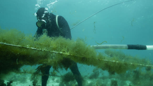 Diver harvests seaweed from ranks of netting using suction device. Japan.
