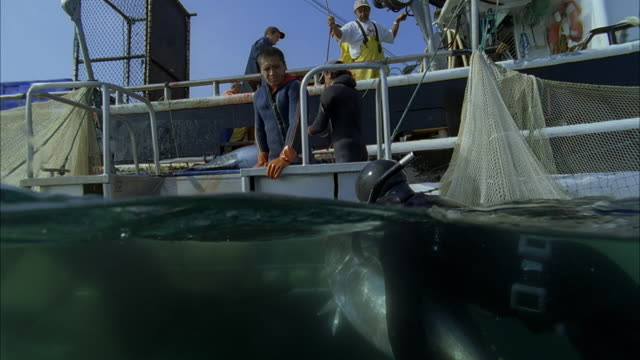 slo mo ms ts diver in water passing yellowfin tuna (thunnus albacares) to men in boat / moorea, tahiti, french polynesia - moorea stock videos & royalty-free footage