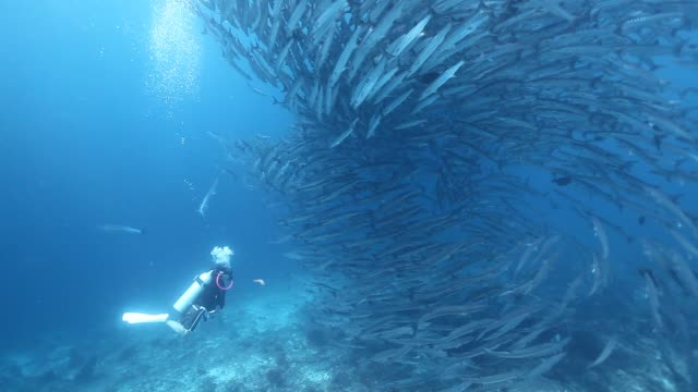 ws diver looking at schooling barracuda vortex / sipadan, semporna, tawau, malaysia - fischschwarm stock-videos und b-roll-filmmaterial