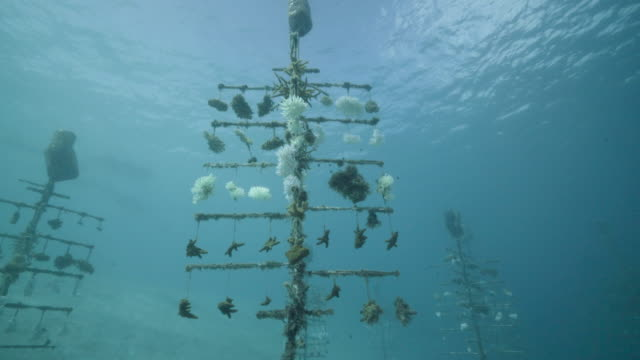 vídeos de stock, filmes e b-roll de a diver looks at one of the coral nurseries on the coral reefs of the society islands in french polynesia on may 9 2019 in moorea french polynesia... - territórios ultramarinos franceses
