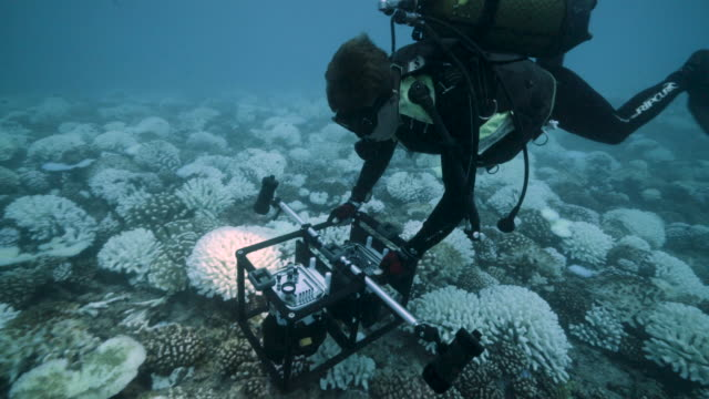 a diver looks at the coral reefs of the society islands in french polynesia on may 9 2019 in moorea french polynesia major bleaching is currently... - biologist stock videos & royalty-free footage