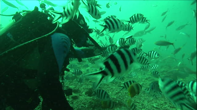 a diver observes schools of pilot fish and other fish. - pilot fish stock videos & royalty-free footage