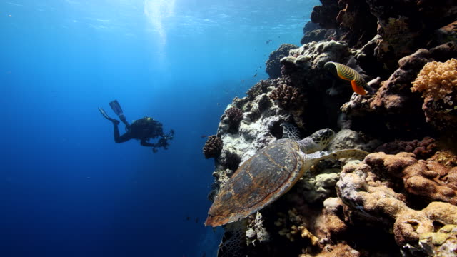 A diver observing a sea turtle along a coral ref wall