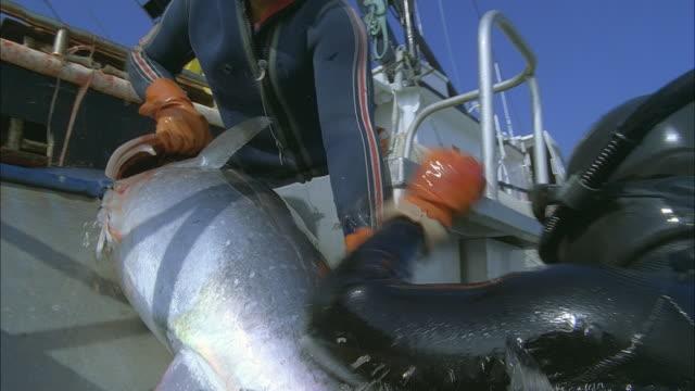 SLO MO CU TU MS Diver passing Yellowfin tuna (Thunnus albacares) into fishing boat / Moorea, Tahiti, French Polynesia