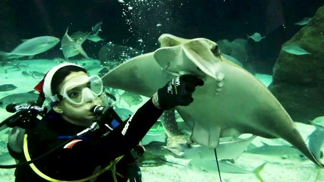 diver plays with a stingray at the aquario aquarium amidst the coronavirus pandemic on december 15, 2020 in rio de janeiro, brazil. - stingray stock videos & royalty-free footage