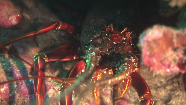 diver point of view underwater shot fish swimming around seaweeds zoom in on a japanese spiny lobster hiding between rocks extreme close shot of the... - lobster stock videos & royalty-free footage