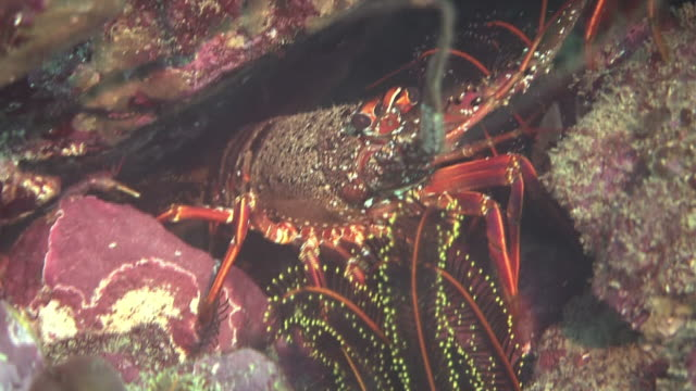 vídeos de stock e filmes b-roll de diver point of view underwater shot; fish swimming around seaweeds: zoom in on two japanese spiny lobsters hiding in a narrow space between large... - organismo aquático